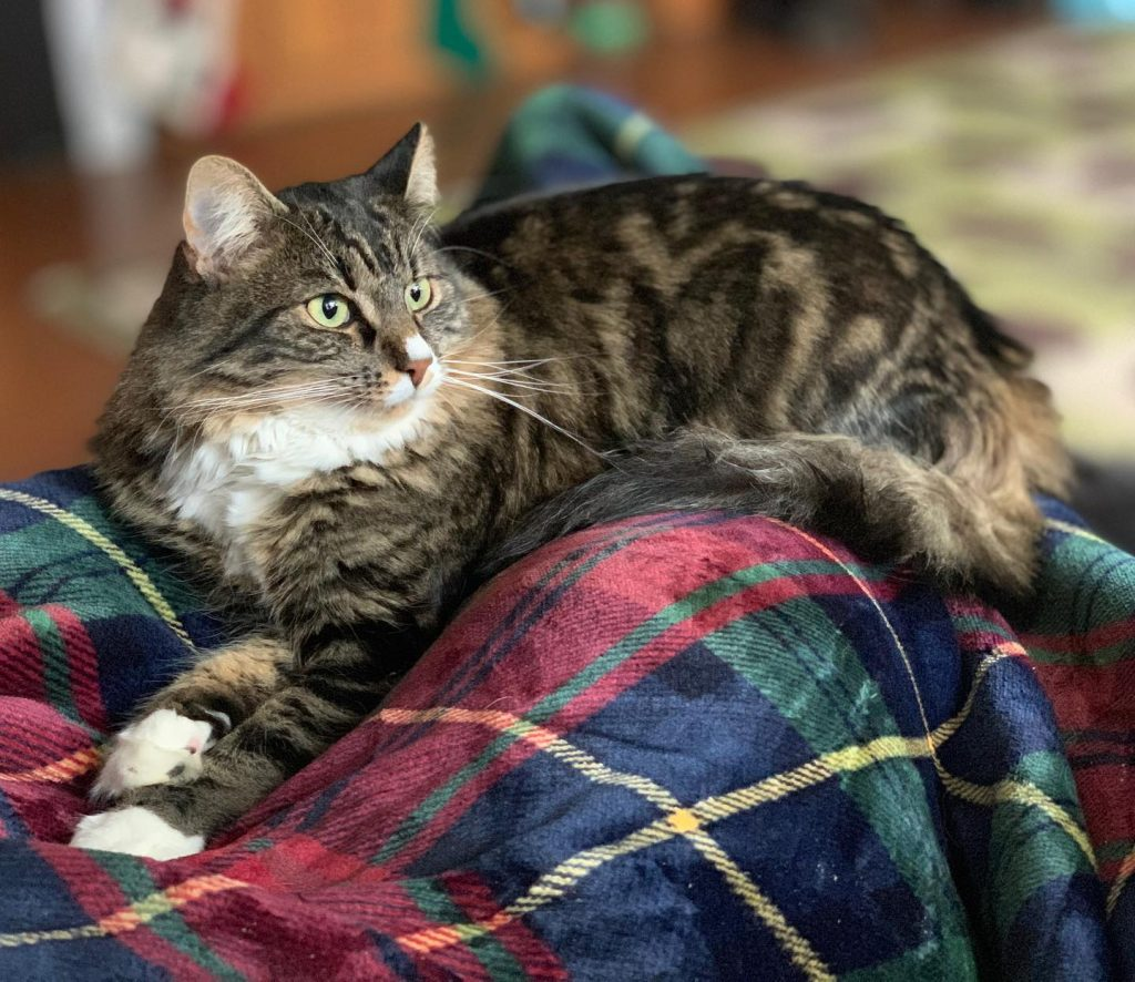 A grey and white tabby cat lying on blanket to promote National Cat Health Month