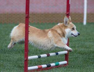 A corgi dog jumping over a bar during an agility competition