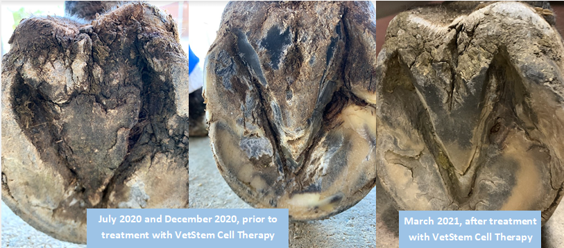 Three pictures of Valor's (horse) hooves. The first two are from July 2020 and December 2020 showing his hoof infection before treatment with VetStem Cell Therapy. The third is from March 2021 showing an improved infection after receiving VetStem Cell Therapy.