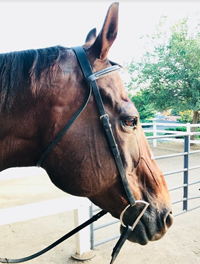 Profile shot of the head of Valor, a brown, thoroughbred horse with reins